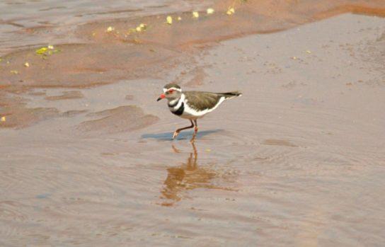 Морські птахи - назви і фото, види сімейства.  Нелітаючі і літаючі морські птіци49