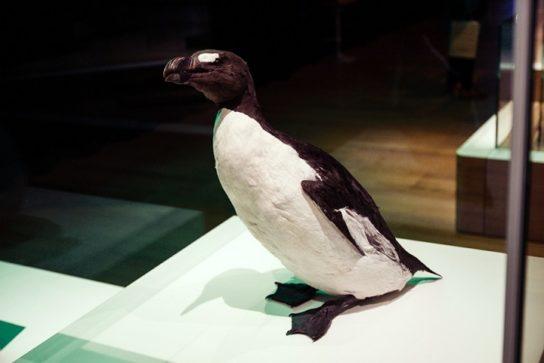 Морські птахи - назви і фото, види сімейства.  Нелітаючі і літаючі морські птіци39