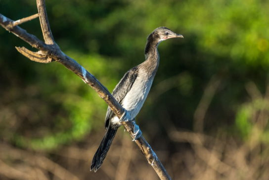 Морські птахи - назви і фото, види сімейства.  Нелітаючі і літаючі морські птіци17