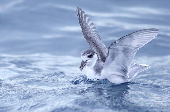 Морські птахи - назви і фото, види сімейства.  Нелітаючі і літаючі морські птіци33