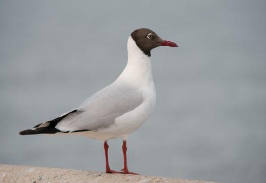 Морські птахи - назви і фото, види сімейства.  Нелітаючі і літаючі морські птіци80
