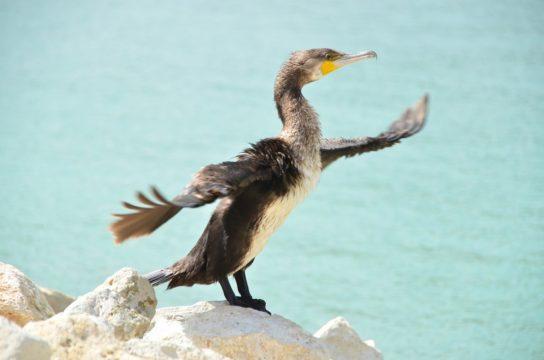 Морські птахи - назви і фото, види сімейства.  Нелітаючі і літаючі морські птіци13