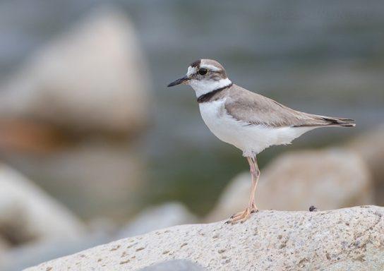 Морські птахи - назви і фото, види сімейства.  Нелітаючі і літаючі морські птіци45