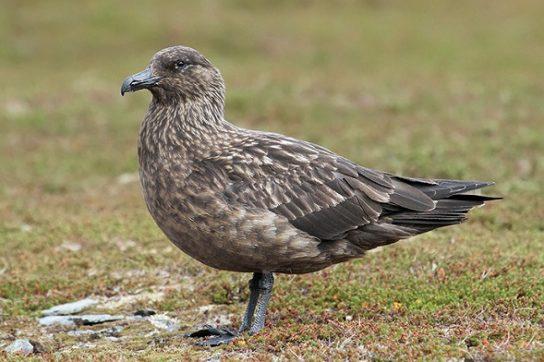 Морські птахи - назви і фото, види сімейства.  Нелітаючі і літаючі морські птіци93