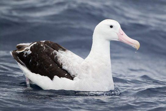Морські птахи - назви і фото, види сімейства.  Нелітаючі і літаючі морські птіци6