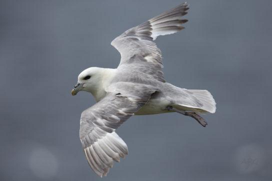Морські птахи - назви і фото, види сімейства.  Нелітаючі і літаючі морські птіци38