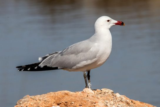 Морські птахи - назви і фото, види сімейства.  Нелітаючі і літаючі морські птіци68