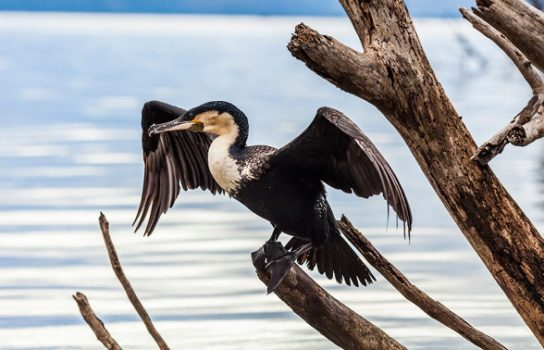 Морські птахи - назви і фото, види сімейства.  Нелітаючі і літаючі морські птіци20