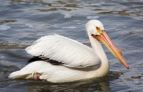 Морські птахи - назви і фото, види сімейства.  Нелітаючі і літаючі морські птіци99