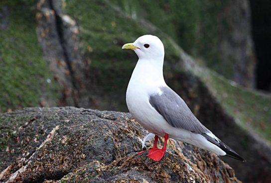 Морські птахи - назви і фото, види сімейства.  Нелітаючі і літаючі морські птіци58