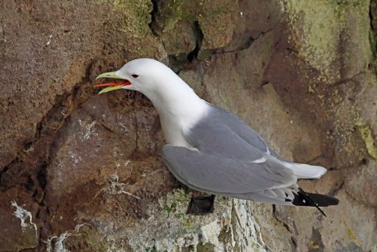 Морські птахи - назви і фото, види сімейства.  Нелітаючі і літаючі морські птіци57