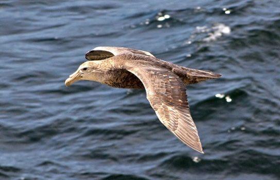 Морські птахи - назви і фото, види сімейства.  Нелітаючі і літаючі морські птіци29