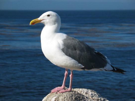 Морські птахи - назви і фото, види сімейства.  Нелітаючі і літаючі морські птіци73