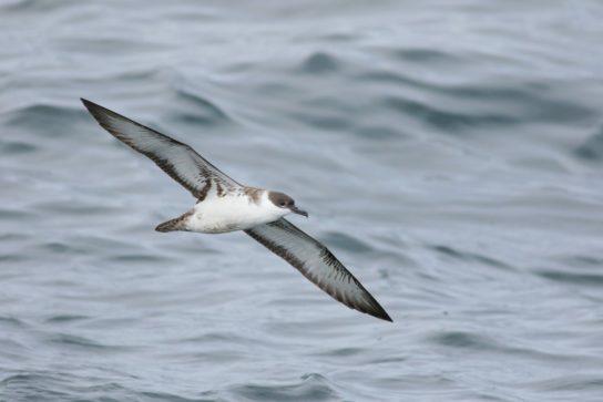 Морські птахи - назви і фото, види сімейства.  Нелітаючі і літаючі морські птіци36
