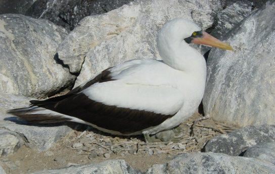 Морські птахи - назви і фото, види сімейства.  Нелітаючі і літаючі морські птіци25