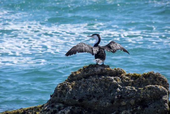 Морські птахи - назви і фото, види сімейства.  Нелітаючі і літаючі морські птіци19