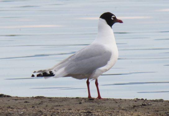 Морські птахи - назви і фото, види сімейства.  Нелітаючі і літаючі морські птіци86