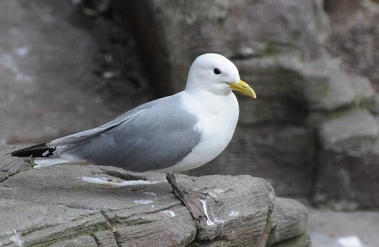 Морські птахи - назви і фото, види сімейства.  Нелітаючі і літаючі морські птіци56