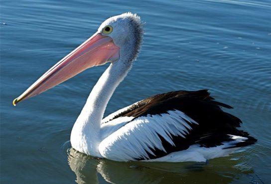 Морські птахи - назви і фото, види сімейства.  Нелітаючі і літаючі морські птіци96