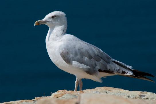 Морські птахи - назви і фото, види сімейства.  Нелітаючі і літаючі морські птіци77