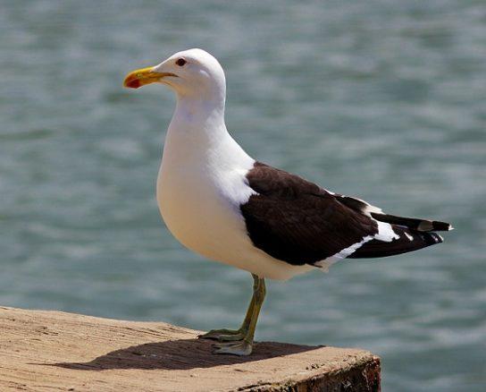Морські птахи - назви і фото, види сімейства.  Нелітаючі і літаючі морські птіци71