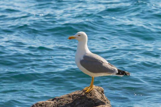 Морські птахи - назви і фото, види сімейства.  Нелітаючі і літаючі морські птіци76
