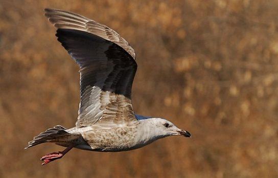 Морські птахи - назви і фото, види сімейства.  Нелітаючі і літаючі морські птіци55