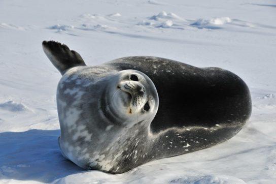 Тюлень - фото і види сімейства, відео і картинки тварини, як виглядає і де обітает7