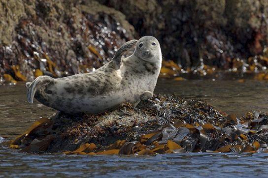 Тюлень - фото і види сімейства, відео і картинки тварини, як виглядає і де обітает15