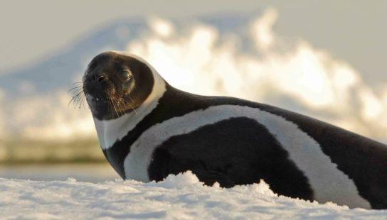 Тюлень - фото і види сімейства, відео і картинки тварини, як виглядає і де обітает14