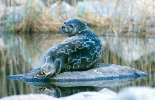 Тюлень - фото і види сімейства, відео і картинки тварини, як виглядає і де обітает11