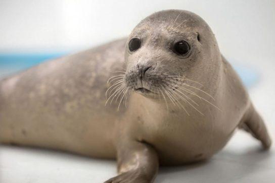 Тюлень – фото і види сімейства, відео і картинки тварини, як виглядає і де мешкає