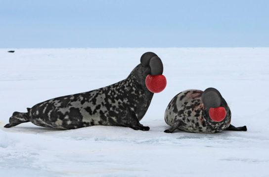 Тюлень - фото і види сімейства, відео і картинки тварини, як виглядає і де обітает8