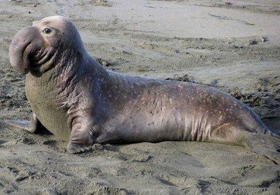 Тюлень - фото і види сімейства, відео і картинки тварини, як виглядає і де обітает3