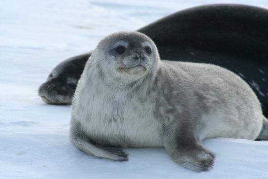 Тюлень - фото і види сімейства, відео і картинки тварини, як виглядає і де обітает6