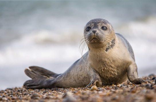 Тюлень - фото і види сімейства, відео і картинки тварини, як виглядає і де обітает16