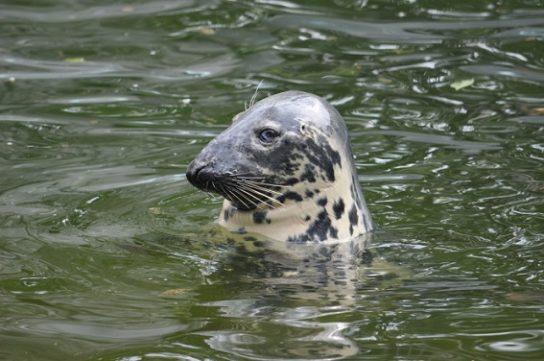Тюлень - фото і види сімейства, відео і картинки тварини, як виглядає і де обітает12
