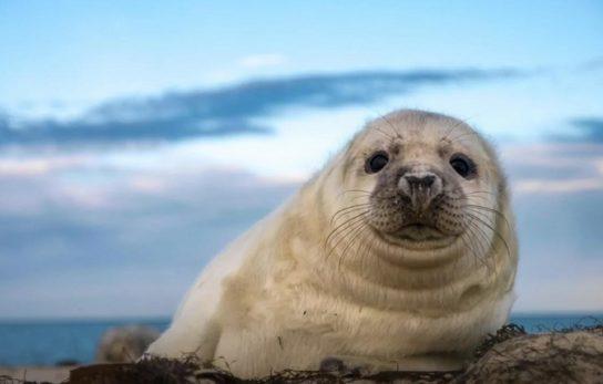 де мешкають тюлені