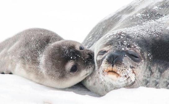 Тюлень - фото і види сімейства, відео і картинки тварини, як виглядає і де обітает9