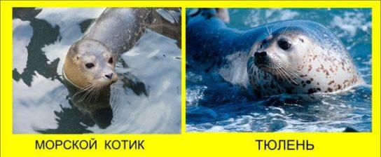 Чим тюлені відрізняються від котиків