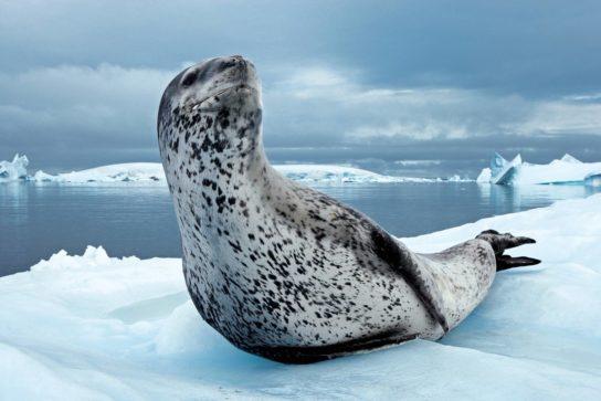 Тюлень - фото і види сімейства, відео і картинки тварини, як виглядає і де обітает5