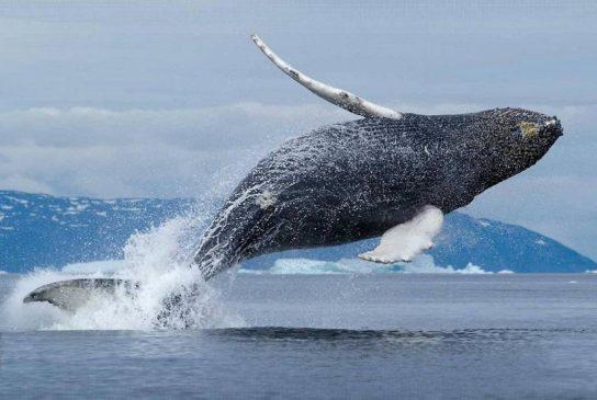 Тварини Північного Льодовитого океану - риби, птахи, ссавці |  Фото з названіямі10