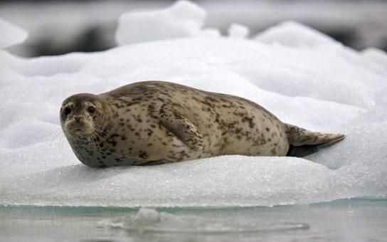 Тварини Північного Льодовитого океану - риби, птахи, ссавці |  Фото з названіямі7