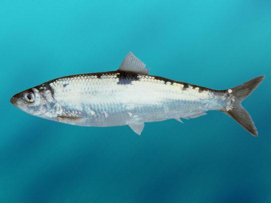 Тварини Північного Льодовитого океану - риби, птахи, ссавці |  Фото з названіямі25