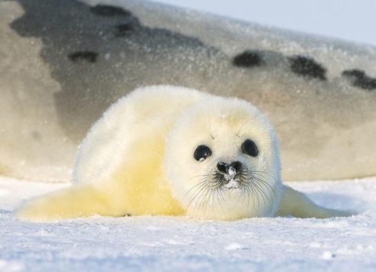 Тварини Північного Льодовитого океану - риби, птахи, ссавці |  Фото з названіямі6