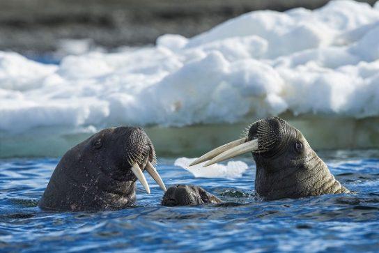 Тварини Північного Льодовитого океану - риби, птахи, ссавці |  Фото з названіямі4
