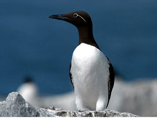 Тварини Північного Льодовитого океану - риби, птахи, ссавці |  Фото з названіямі16