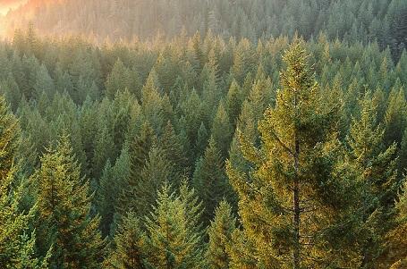 Хвойний ліс Росії і Тайги – природні зони, дерева, клімат і особливості