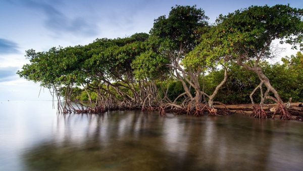 Мангрові ліси – де знаходяться, фото і відео