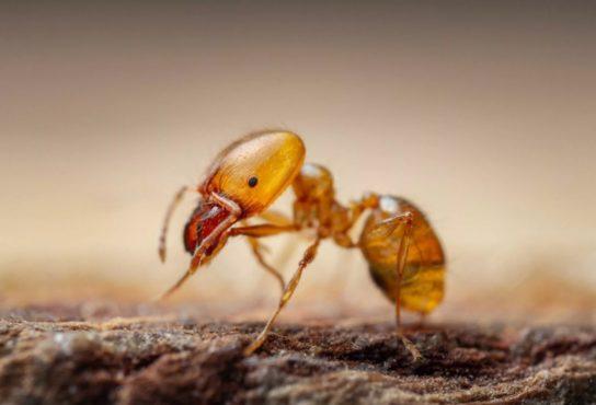 фараонів мураха